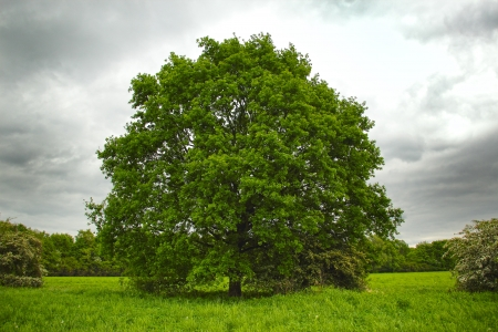 big tree with new leaf growth in early spring standing alone in a field