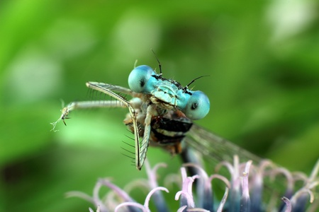 bugaboo: Blue Damselfly close-up of the eyes Stock Photo