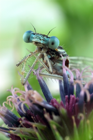 Blue Damselfly close-up of the eyes Stock Photo