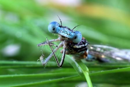bugaboo: Damselfly blu close-up degli occhi Archivio Fotografico
