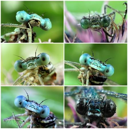 bugaboo: Grandi occhi della libellula con gocce di rugiada Archivio Fotografico