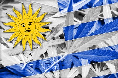 bandera de uruguay: Bandera de Uruguay en el fondo de cannabis. La pol�tica de drogas. La legalizaci�n de la marihuana Foto de archivo