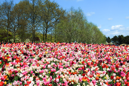 largest tree: KEUKENHOF GARDEN, LISSE, NETHERLANDS - APR 29, 2017 : It is one of the worlds largest flower gardens. Over 7 million flower bulbs and one million visitors every year. Keukenhof Garden, Lisse, Netherlands - April 29, 2017. Editorial