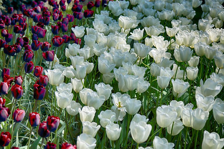 romantic places: Field of tulips and other seasonal spring flowers