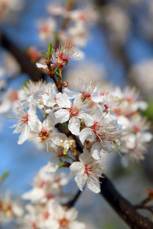 Blossom of Mirabelle plum, also known as mirabelle prune or cherry plum (Prunus domestica). 版權商用圖片