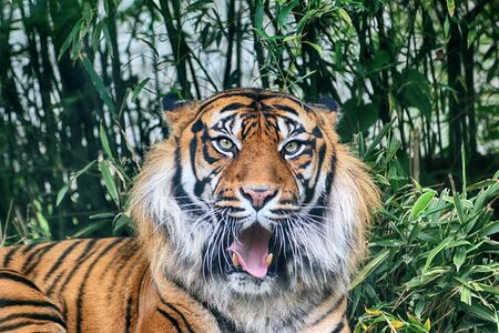 The Sumatran tiger (Panthera tigris sumatrae) in the Indonesian island of Sumatra. Standard-Bild