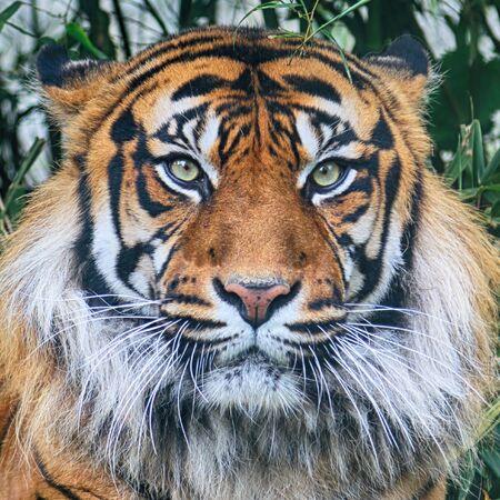 El tigre de Sumatra (Panthera tigris sumatrae) en la isla indonesia de Sumatra. Foto de archivo