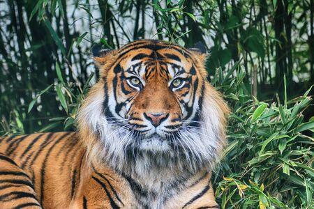 El tigre de Sumatra (Panthera tigris sumatrae) en la isla indonesia de Sumatra.