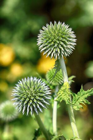 Echinops sphaerocephalus (names: glandular globe-thistle, great globe-thistle or pale globe-thistle) is a Eurasian species of globe-thistle belonging to the thistle tribe within the sunflower family.