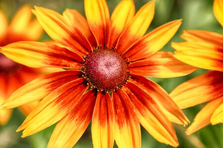Rudbeckia bicolor is a plant genus in the sunflower family. The species are commonly called coneflowers and black-eyed-susans. Cultivated in gardens for their showy yellow and red flower heads. Banque d'images - 128399908