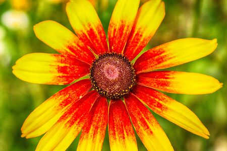 Rudbeckia bicolor is a plant genus in the sunflower family. The species are commonly called coneflowers and black-eyed-susans. Cultivated in gardens for their showy yellow and red flower heads. Banque d'images - 128399907