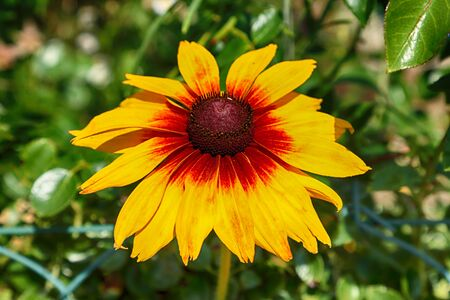 Rudbeckia bicolor is a plant genus in the sunflower family. The species are commonly called coneflowers and black-eyed-susans. Cultivated in gardens for their showy yellow and red flower heads. Banque d'images - 128399917