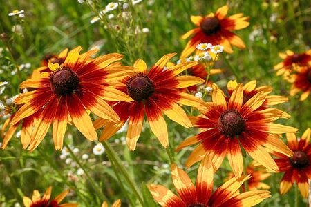 Rudbeckia bicolor, plant genus in the sunflower family. Banco de Imagens