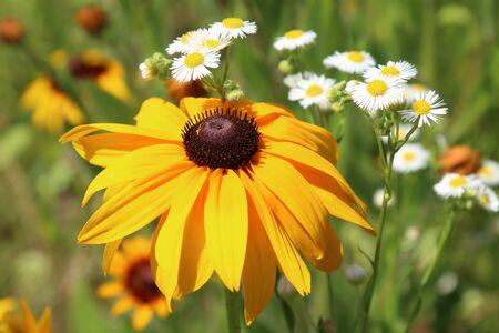 Rudbeckia bicolor, plant genus in the sunflower family. Reklamní fotografie