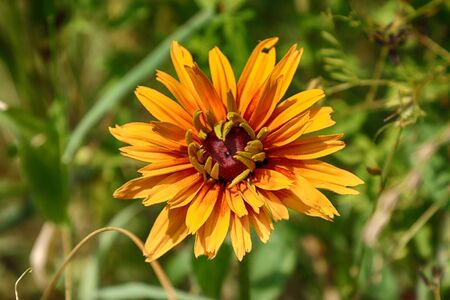 Rudbeckia bicolor, plant genus in the sunflower family.