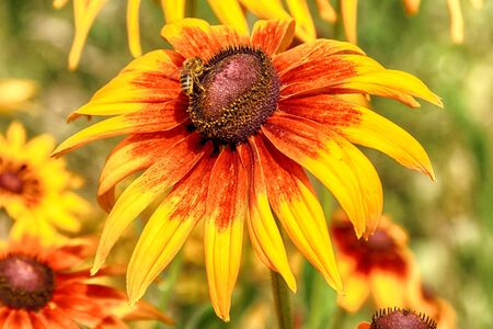 Rudbeckia bicolor, plant genus in the sunflower family. Banque d'images - 128392131