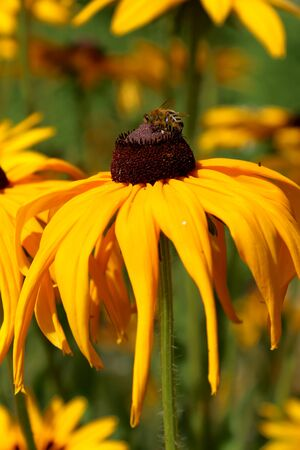 Rudbeckia is a plant genus in the sunflower family. The species are commonly called coneflowers and black-eyed-susans. Cultivated in gardens for their showy yellow or gold flower heads.