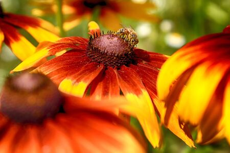 Rudbeckia bicolor is a plant genus in the sunflower family. The species are commonly called coneflowers and black-eyed-susans. Cultivated in gardens for their showy yellow and red flower heads. Banque d'images - 128392574