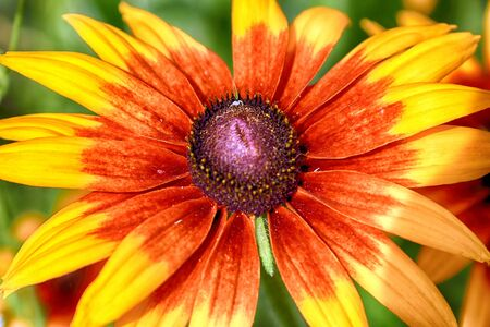 Rudbeckia bicolor is a plant genus in the sunflower family. The species are commonly called coneflowers and black-eyed-susans. Cultivated in gardens for their showy yellow and red flower heads. Archivio Fotografico - 128392582