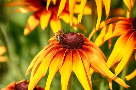 Rudbeckia bicolor is a plant genus in the sunflower family. The species are commonly called coneflowers and black-eyed-susans. Cultivated in gardens for their showy yellow and red flower heads. Archivio Fotografico - 128392689