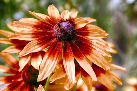 Rudbeckia bicolor is a plant genus in the sunflower family. The species are commonly called coneflowers and black-eyed-susans. Cultivated in gardens for their showy yellow and red flower heads. Banque d'images - 128392721