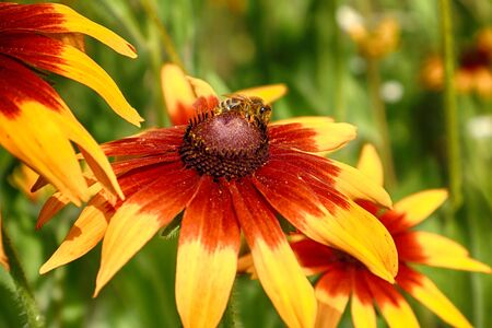 Rudbeckia bicolor is a plant genus in the sunflower family. The species are commonly called coneflowers and black-eyed-susans. Cultivated in gardens for their showy yellow and red flower heads. Archivio Fotografico - 128393138