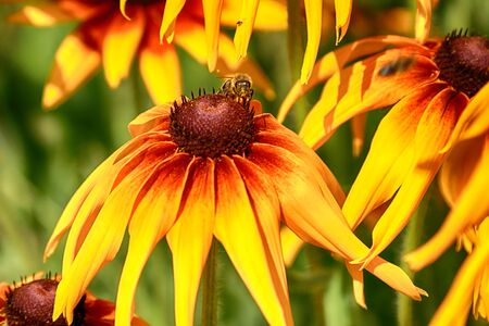 Rudbeckia bicolor is a plant genus in the sunflower family. The species are commonly called coneflowers and black-eyed-susans. Cultivated in gardens for their showy yellow and red flower heads. Banque d'images - 128393181