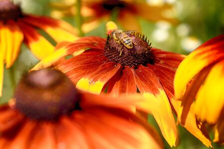 Rudbeckia bicolor is a plant genus in the sunflower family. The species are commonly called coneflowers and black-eyed-susans. Cultivated in gardens for their showy yellow and red flower heads. Archivio Fotografico - 128399919
