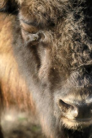 The European bison (Bison bonasus), also known as wisent, or the European wood bison, is a Eurasian species of bison. ZOO in Wroclaw, Poland. Stok Fotoğraf