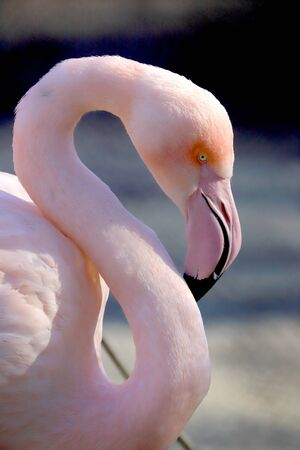 The American flamingo (Phoenicopterus ruber). It is the only flamingo that naturally inhabits North America. ZOO in Wroclaw, Poland. Imagens