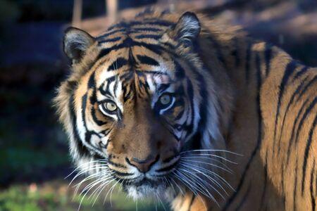 The Sumatran tiger (Panthera tigris sumatrae) is a rare tiger population in the Indonesian island of Sumatra. ZOO in Wroclaw, Poland. Foto de archivo