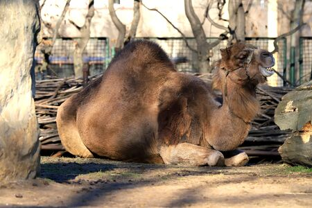 The dromedary, also called the Somali camel (Camelus dromedarius). It is the tallest of the three species of camel. ZOO in Wroclaw, Poland.