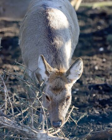 The barasingha, also called swamp deer, is a deer species distributed in the Indian subcontinent. ZOO in Wroclaw, Poland. Stok Fotoğraf