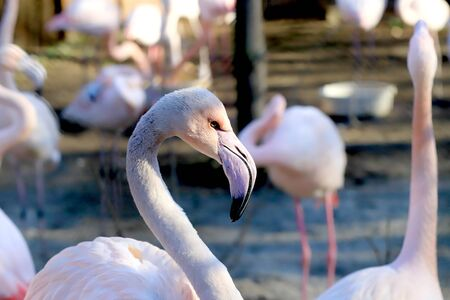 The American flamingo (Phoenicopterus ruber). It is the only flamingo that naturally inhabits North America. ZOO in Wroclaw, Poland. Stok Fotoğraf