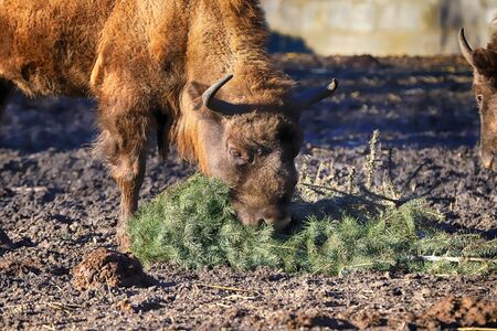 The European bison (Bison bonasus), also known as wisent, or the European wood bison, is a Eurasian species of bison. ZOO in Wroclaw, Poland. Reklamní fotografie