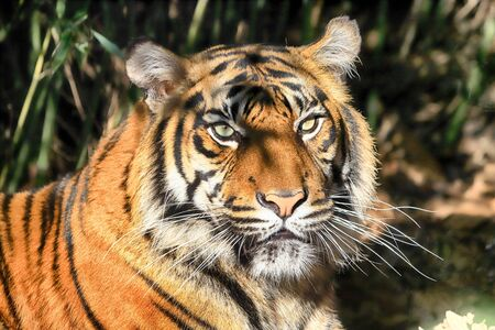 The Sumatran tiger (Panthera tigris sumatrae) is a rare tiger population in the Indonesian island of Sumatra. ZOO in Wroclaw, Poland.