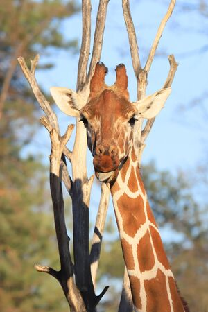 The giraffe (Giraffa) is an African artiodactyl mammal, the tallest living terrestrial animal and the largest ruminant. ZOO in Wroclaw, Poland.