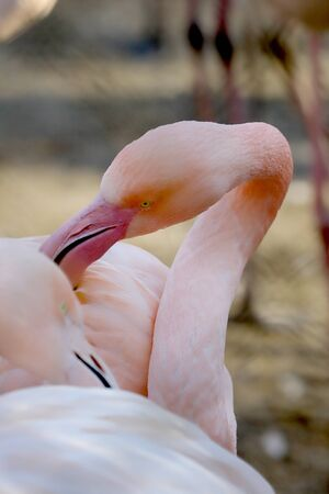 The American flamingo (Phoenicopterus ruber). It is the only flamingo that naturally inhabits North America. ZOO in Wroclaw, Poland.