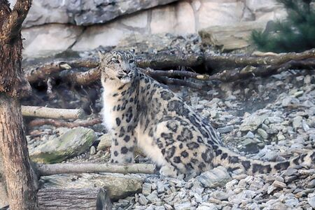 The snow leopard (Panthera uncia), also known as the ounce, is a large cat native to the mountain ranges of Central and South Asia. ZOO in Wroclaw, Poland.