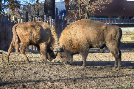The European bison (Bison bonasus), also known as wisent, or the European wood bison, is a Eurasian species of bison. ZOO in Wroclaw, Poland. Фото со стока