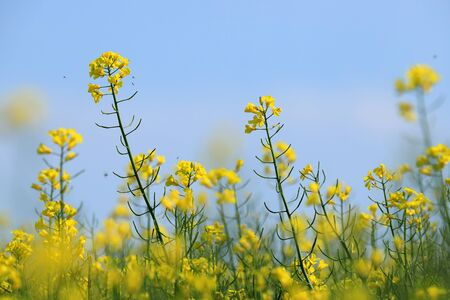 Blooming rapeseed on a sunny day in the middle of may.