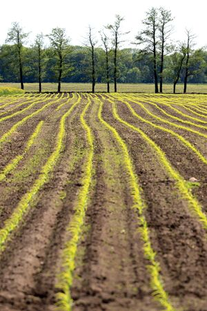 Freshly planted corn field in the middle of may near Wroclaw, Poland.
