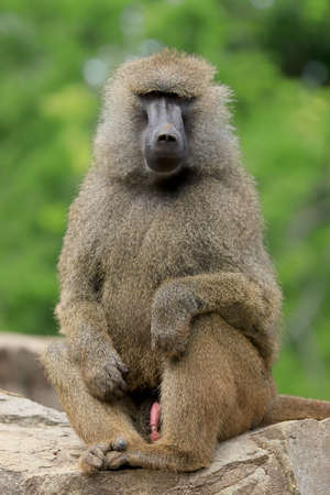 WROCLAW, POLAND - JUNE 09, 2020: Yellow baboon (Papio cynocephalus) is an old world monkey inhabiting open woodlands and grasslands of Africa south of the Sahara. ZOO in Wroclaw, Poland.