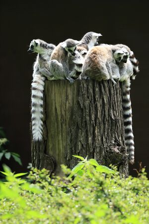he ring-tailed lemur (Lemur catta) is the most recognized lemur due to its long, black and white ringed tail.