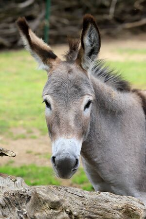 WROCLAW, POLAND - JUNE 09, 2020: Donkey. The Wroclaw Zoological Garden is the oldest and most visited zoo in Poland (and the fifth in Europe).