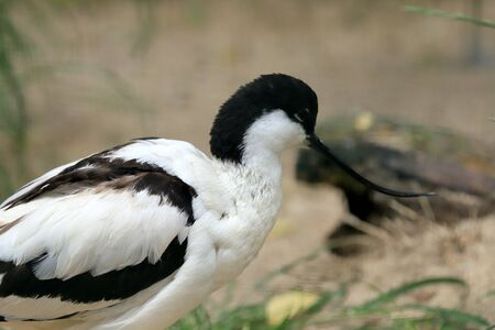 Stilt is a common name for several species of birds in the family Recurvirostridae, which also includes those known as avocets. Imagens