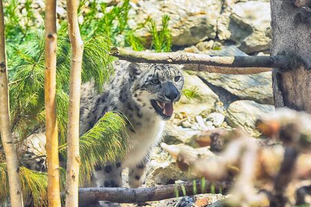 The snow leopard (Panthera uncia), also known as the ounce, is a large cat native to the mountain ranges of Central and South Asia. Stock Photo