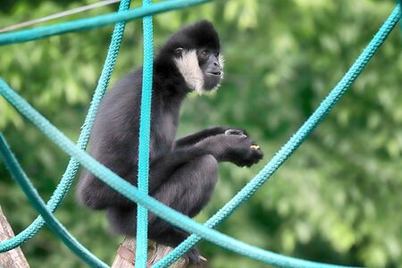 The northern white-cheeked gibbon (Nomascus leucogenys) is a species of gibbon native to South East Asia.