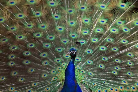 The Indian peafowl (Pavo cristatus), also known as the common peafowl, and blue peafowl. Stok Fotoğraf