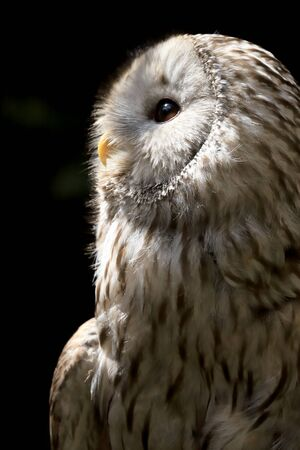 The tawny owl or brown owl (Strix aluco) is a stocky, medium-sized owl commonly found in woodlands across much of the Palearctic.